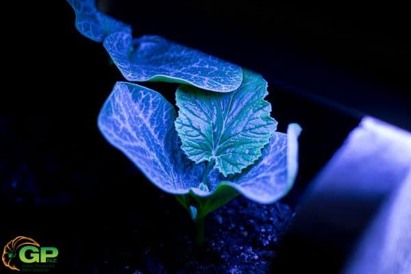 254.5kg (561lb) Harris seedling growing