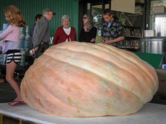 NZ record giant pumpkin 721kg