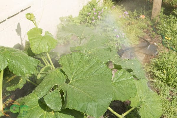 Giant Pumpkin Plant Watered with Micro Irrigation