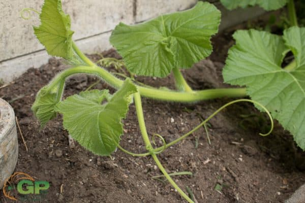Giant Pumpkin Tendrils and Vine Growing